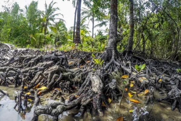 Herstel van mangrovebossen in Myanmar